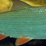 Рыба подуст или некоторые способы ловли подуста