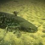 Рыбалка сома – мастодонта пресноводного царства