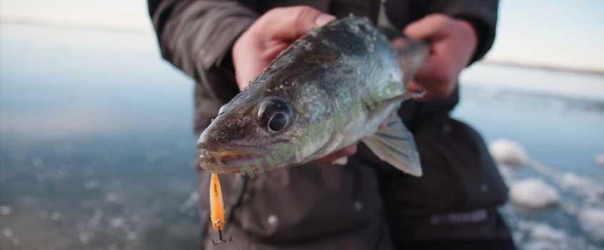 Зимняя ловля судака со льда на балансир